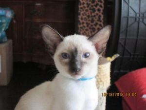 L@@K! PURE SEAL-POINT SIAMESE KITTENS READY TO GO NOW!