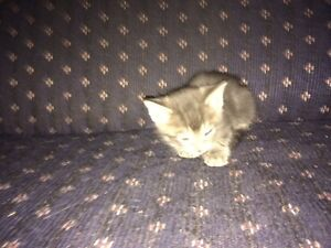 Charcoal smoke/marble Savannah cross kittens  Regina Regina Area image 7