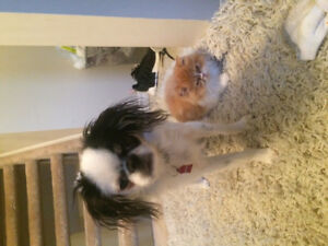 Japanese chin male puppy dog quiet, family pet, city/country