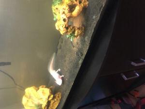 Axolotl + 30 Gallon tank/ Decor + Tank Stand.