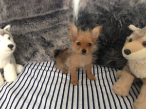 Teacup Pomeranian mix Yorkshire puppies only 1 left