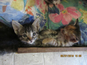 Beautiful kittens looking for good homes in Kingston area.
