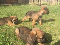 Border terrier puppies kc registered