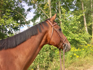 QH Gelding 7 years old- English Pleasure - Western All rounder