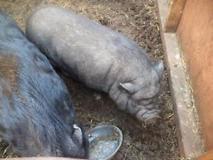 Pot belly sow.  Very easy going and has been with Oscar