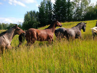 Foundation Ranch Quarter Horses for Sale
