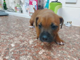 Staffordshire Bull Terrier pups for sale.