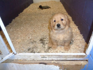 Golden Retriever Puppies.Quality Counts! One girl left!