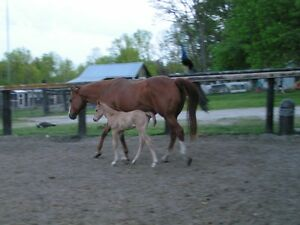 Registered Quarter Horse Mare with Filly Foal