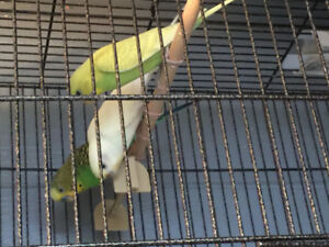 Beautiful Budgies w/cages & accessories