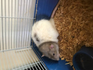 Cute male Rat for sale with cage