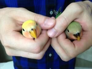 Love Bird Babies (9 weeks old)