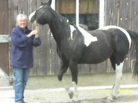 Horse registered gelding black and white Paint