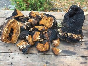 Wild Chaga from Temiskaming  $20/lb