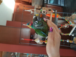 Baby pearly conure