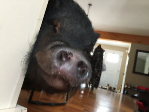 Looking for good home for 2 yr old micro pig