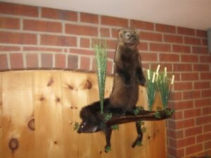taxidermy pékan fisher
