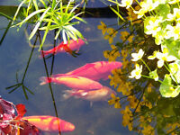 19 healthy pond gold fish free to a good home
