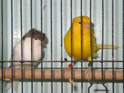 Gloster (crested) Canaries Tullamarine Hume Area Preview