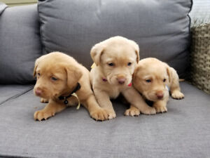 Purebred chocolate and champagne lab pups