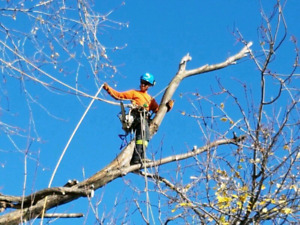 Tree removal. Trimming