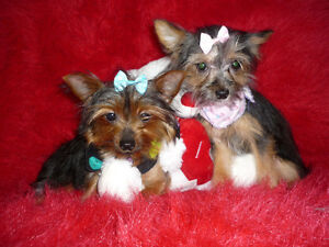 Chiots Tea cup yorkshire terrier felle