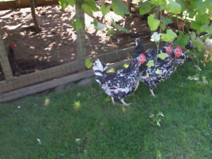 Speckle Sussex Roosters
