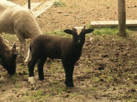 Rambouillet Ram Lamb for sale -- to farm home /not for meat