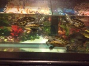 3 turtles with tank and stand