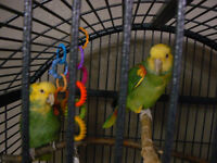 DOUBLE YELLOW HEADED AMAZONS FOR SALE
