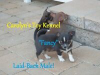 """★""""3"""" Tiny Gorgeous Purebred Chihuahua Pups (Champion Bloodlines)"""