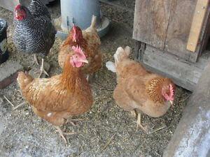 Red Sexlink Pullet lBrown Egg layers, $7.00 each