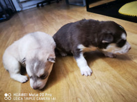German and husky mix and pure husku puppy available for sale