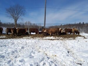 SIMMENTAL YEARLING HEIFERS FOR SALE