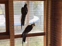 Aviary Cockatiels pair