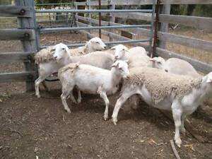 Dorper Young Breeding Ewes For Sale Tullamarine Hume Area Preview