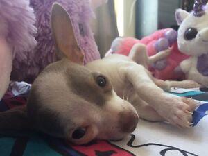 Chihuahua Mâle blanc & beige 3,5lbs max adulte