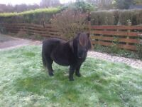 Shetland pony for sale easy to do in all ways