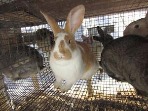 Plusieurs beaux lapins à vendre
