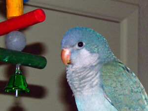Beautiful Blue Quaker Parrot very friendly