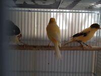 Any canary of choice