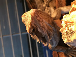 Bearded Dragon for Trade