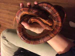 Snake with all supplies! REDUCED to $200 Prince George British Columbia image 7