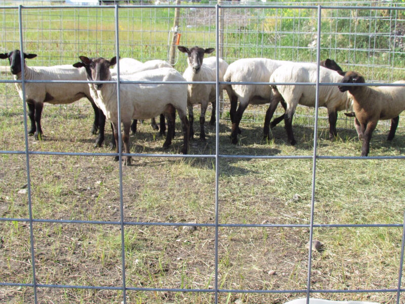 Welded Wire Mesh Panels For Cattle Sheep Goats Hogs