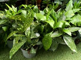 Japanese laurels house plant or garden shrub