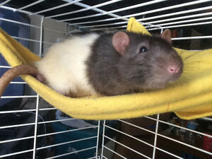 2 well behaved male rats need loving home!
