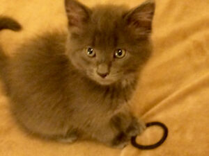 9 WK OLD RUSSIAN BLUE-TABBY LOOKING FOR HER FOREVER HOME!