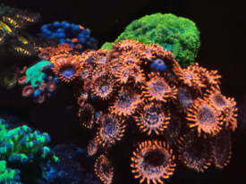Marine Zoas for sale or swap