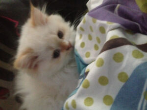 Flame point Himalayan/Ragdoll for sale
