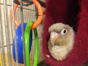 ❤★❤ Adorable,Tame CONURE Babies With CAGE❤★❤ Stratford Kitchener Area image 4